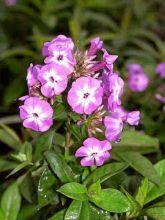 Phlox paniculata Laura - Phlox paniculé rose magenta à centre blanc