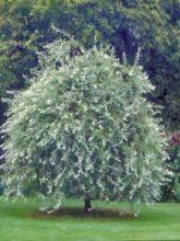Poirier à feuilles de saule pleureur