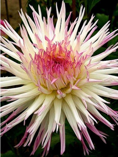 Dahlia cactus Spider 'Marlene joy'