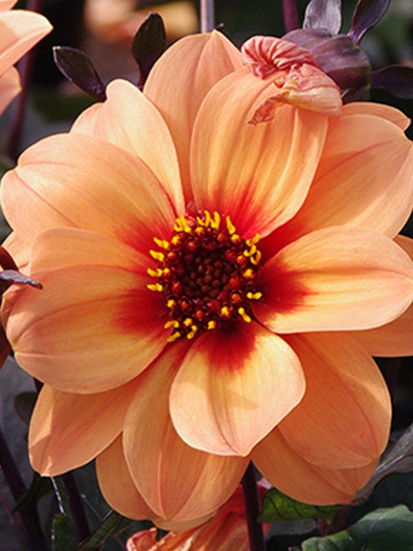 Dahlia Dreamy™ 'Eyes'