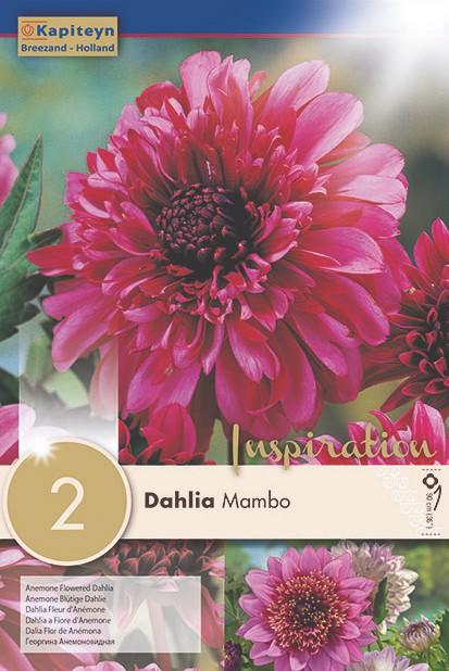 Dahlia Gpe à collerette 'Mambo'