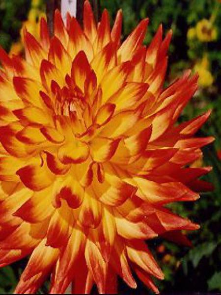 Dahlia Gpe Cactus 'Aloha'
