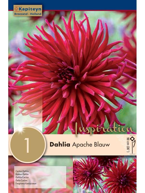 Dahlia Gpe Cactus 'Apache Blauw'