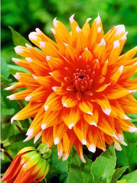 Dahlia Gpe Cactus 'Color Spectacle'
