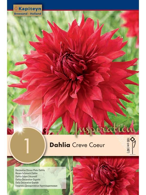 Dahlia Gpe Cactus 'Crève cœur'