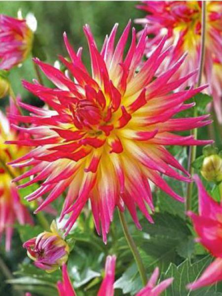 Dahlia Gpe Cactus 'Electric Flash'