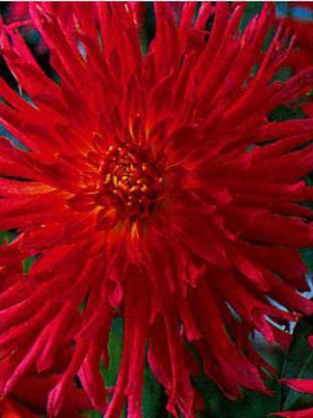 Dahlia Gpe Cactus 'Flirt'