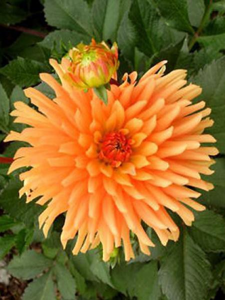 Dahlia Gpe Cactus 'Ludwig Helfert'
