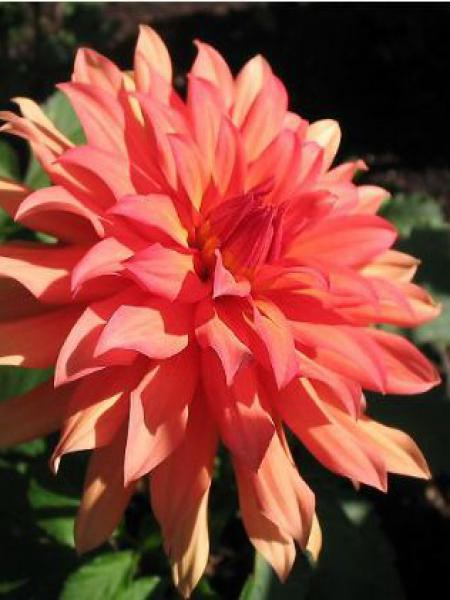 Dahlia Gpe Cactus nain 'Autumn Fairy'