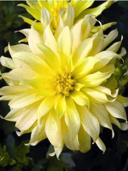 Dahlia Gpe Cactus nain 'Munchen'