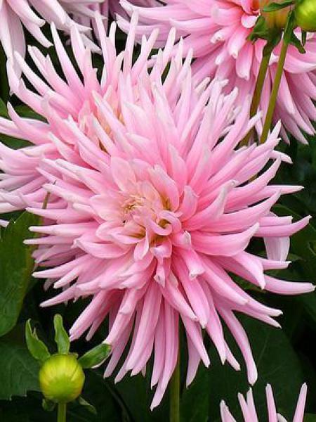 Dahlia Gpe Cactus nain 'Park Princess'