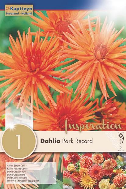 Dahlia Gpe Cactus nain 'Park Record'