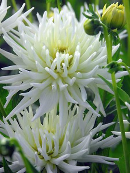 Dahlia Gpe Cactus nain 'Playa Blanca'