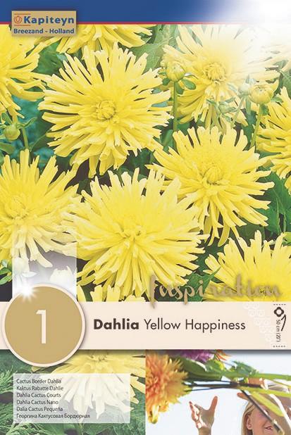 Dahlia Gpe Cactus nain 'Yellow Happiness'