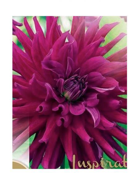 Dahlia Gpe Cactus 'Orfeo'
