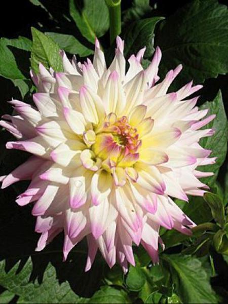 Dahlia Gpe Cactus 'Romantique'