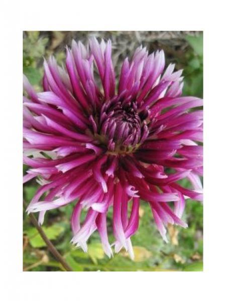 Dahlia gpe cactus spider 'Alauna Claire Obscur'