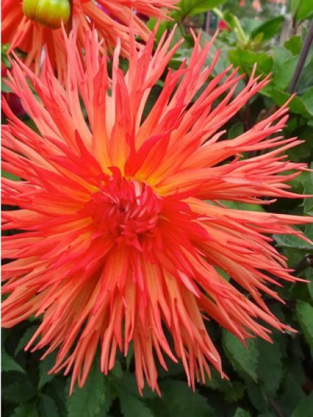 Dahlia Gpe Cactus 'Mel's orange marmelade'