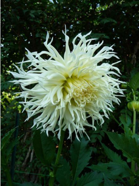 Dahlia Gpe Cactus 'Tsuki-yori-no-shisha'