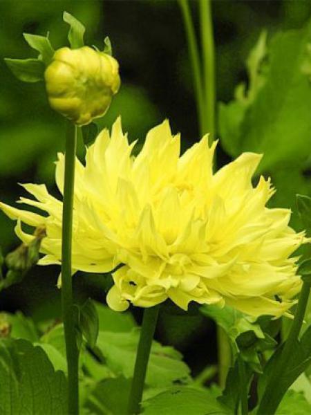 Dahlia Gpe Cactus 'Yellow Passion'