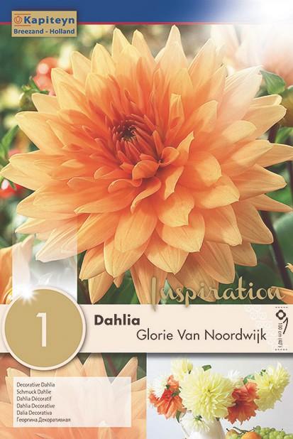 Dahlia Gpe décoratif 'Glorie Van Noordwijk'