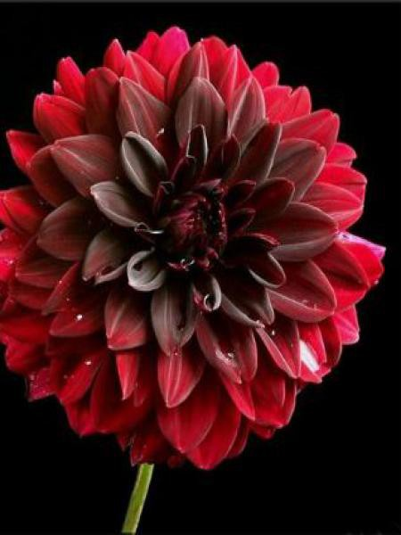 Dahlia Gpe décoratif 'Arabian Night'