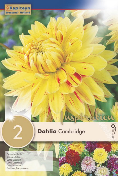 Dahlia Gpe décoratif 'Cambridge'