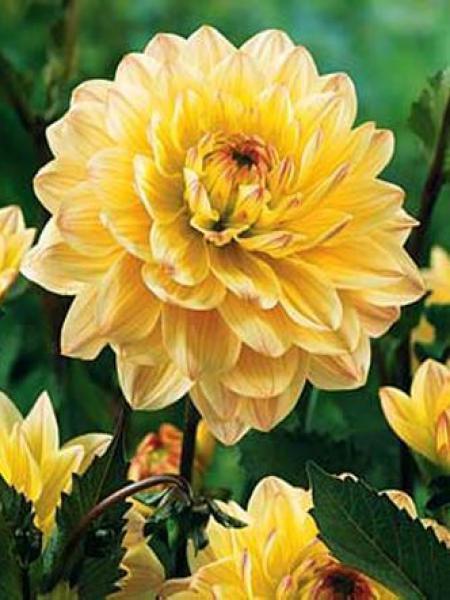 Dahlia Gpe décoratif 'Chianti'