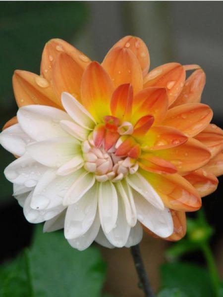 Dahlia Gpe décoratif 'Coupe de soleil'