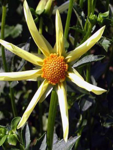 Dahlia Gpe décoratif 'Etoile'