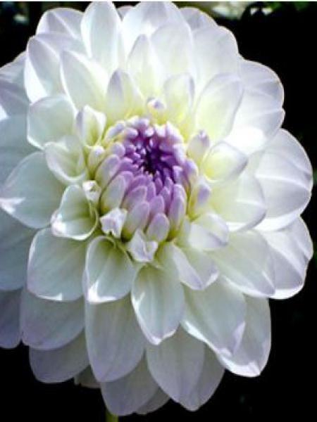 Dahlia Gpe décoratif 'Eveline'