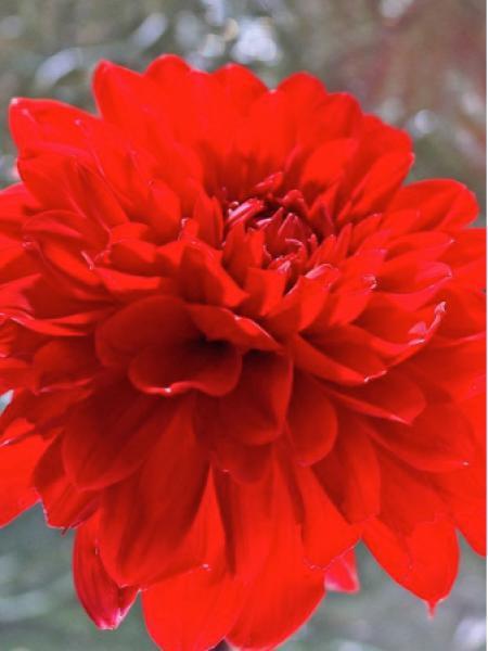 Dahlia Gpe décoratif 'Garden Wonder'