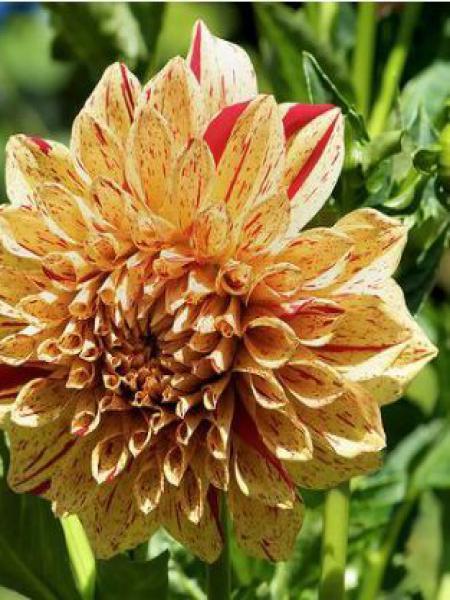 Dahlia Gpe décoratif 'Gloriosa'