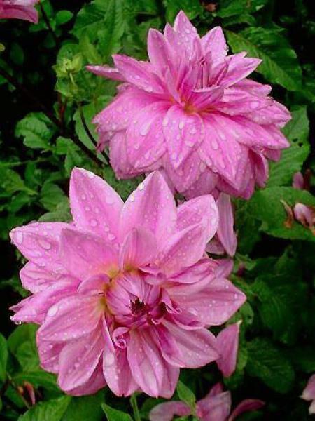 Dahlia Gpe décoratif 'Lilac Times'