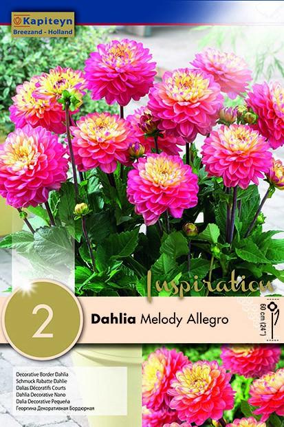 Dahlia Gpe décoratif 'Melody Allegro'