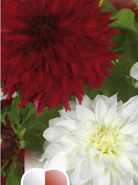 Dahlia Gpe décoratif 'Noir et blanc'