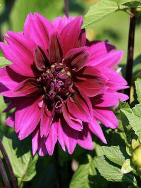 Dahlia Gpe décoratif 'Purple Pearl'
