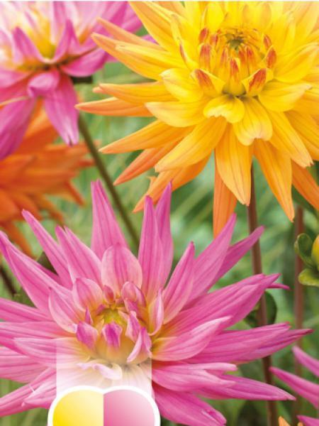 Dahlia Gpe décoratif 'Rose et orange'