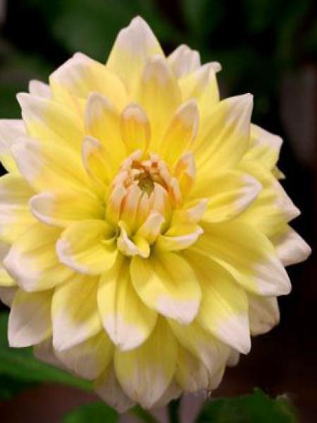 Dahlia Gpe décoratif 'Seattle'