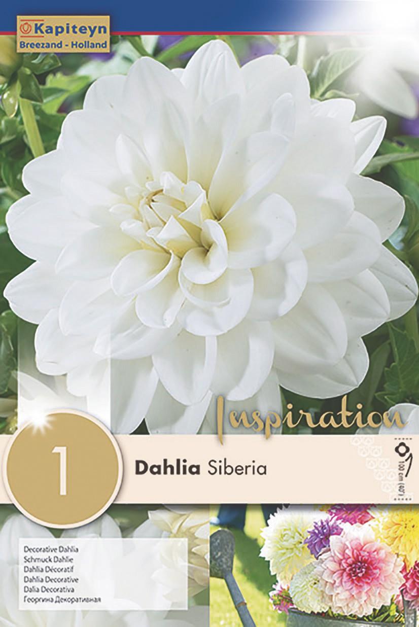 Dahlia Gpe décoratif 'Siberia'