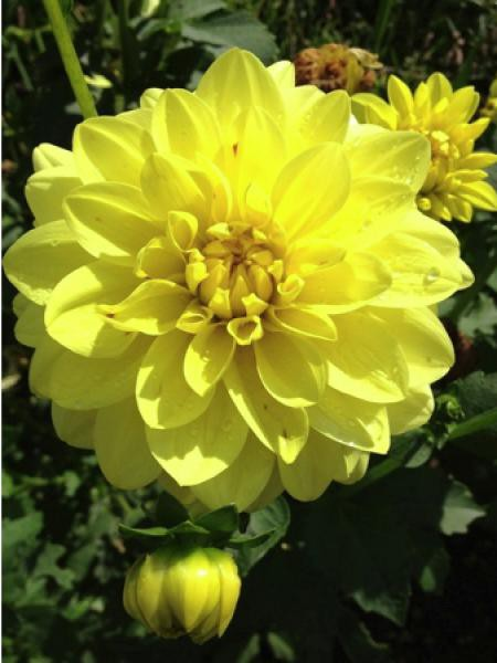 Dahlia Gpe décoratif 'Sunlady'