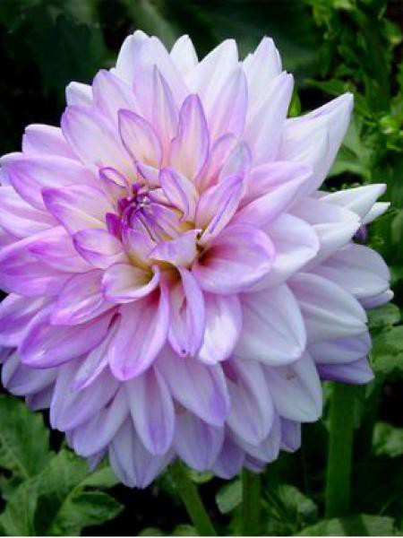 Dahlia Gpe décoratif 'Twilight Time'