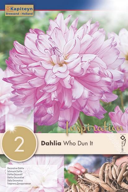 Dahlia Gpe décoratif 'Who dun it'