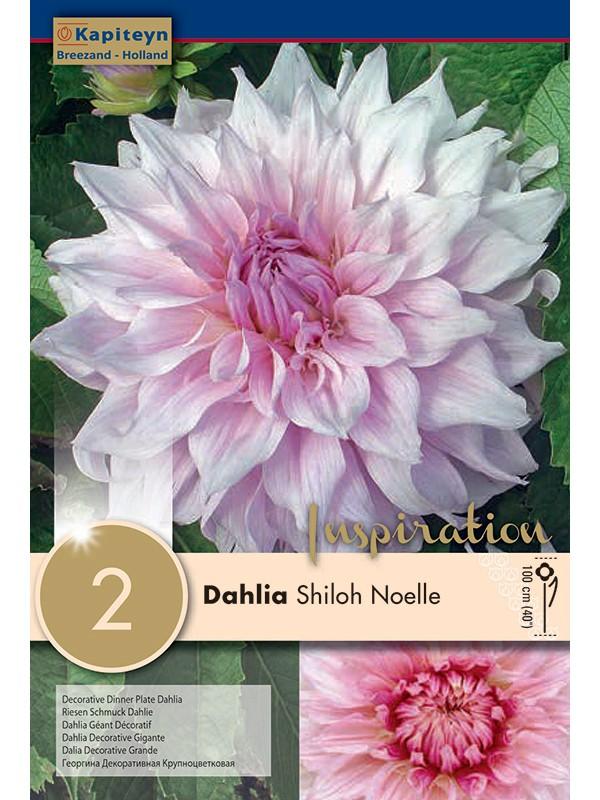 Dahlia Gpe Géant décoratif 'Shiloh Noelle'