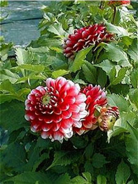 Dahlia Gpe Nains doubles 'Little Tiger'