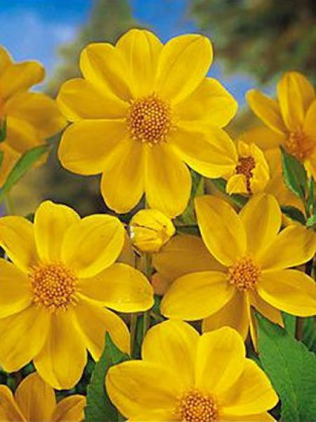 Dahlia Gpe Nains simples 'Yellow Sneezy'