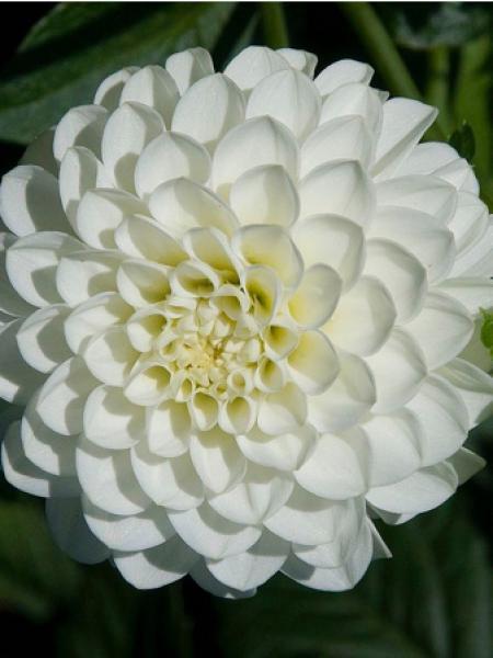 Dahlia gpe pompom 'White Aster'