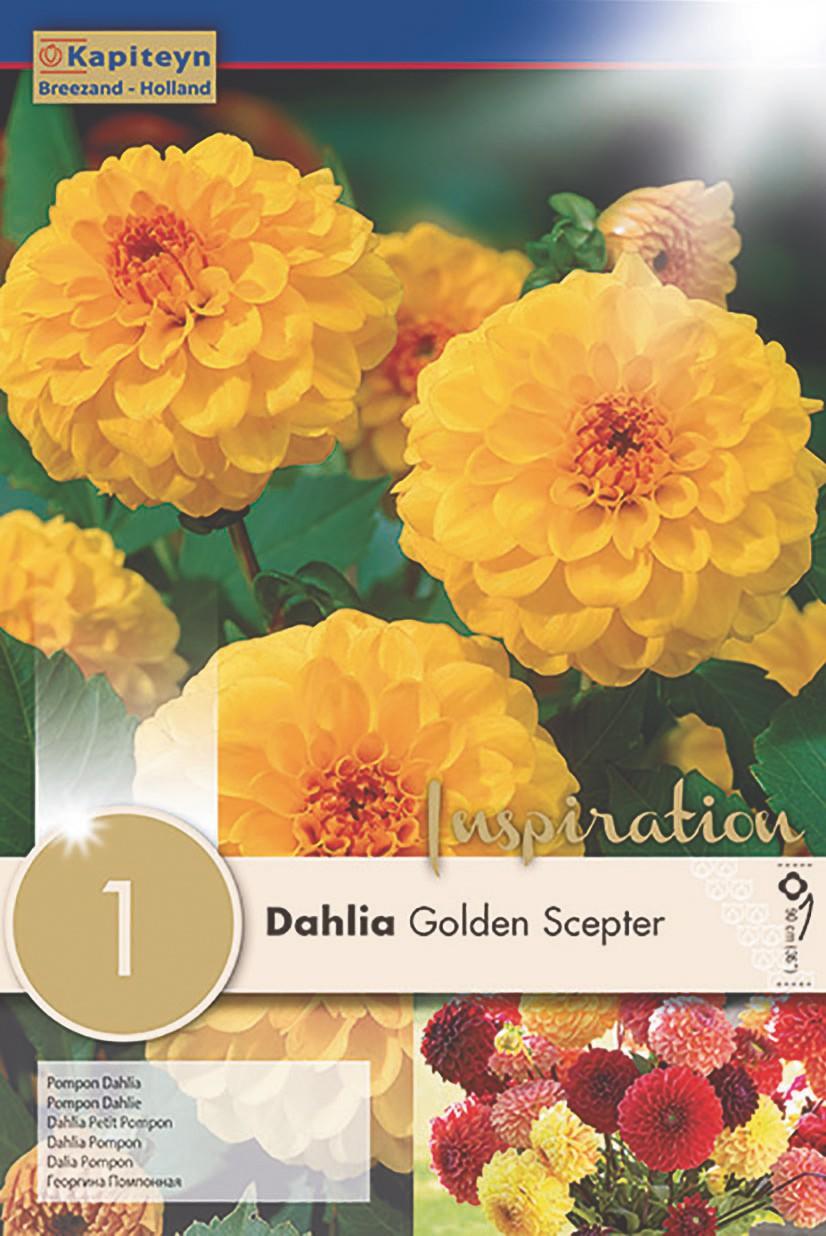 Dahlia Gpe Pompon 'Golden Scepter'