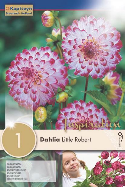 Dahlia Gpe Pompon 'Little Robert'