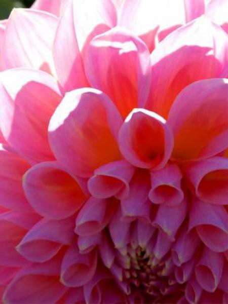 Dahlia Gpe Pompon 'Rose'